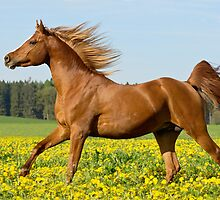Arab horse stallion by Manfred Grebler