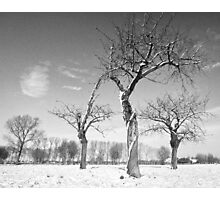 Twisted Cherry Trees in Winter Photographic Print
