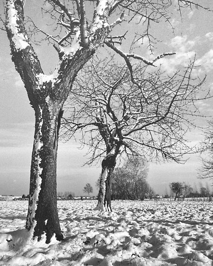 Old Cherry Trees in Winter by Steven House
