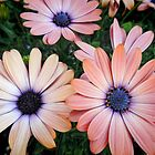 African Daisies Zion 'Copper Amethyst' by Marilyn Harris