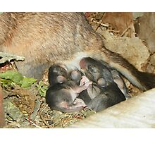 Baby Woodrats Photographic Print
