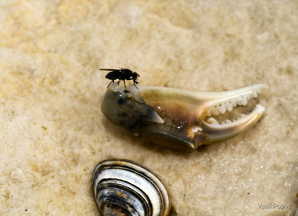 Fly on a sand beech by Vasil Popov