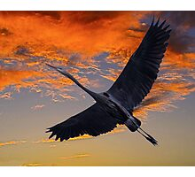 Great Blue Heron at Sunset  Photographic Print