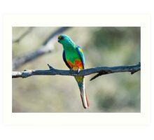 Mulga Parrot Art Print