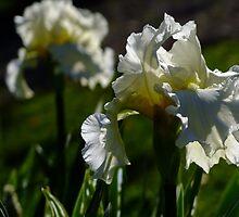 Bearded Iris - White Lightening by Gabrielle  Lees