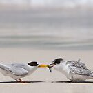Meal-time - Fairy Terns by Haggiswonderdog