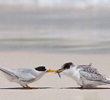 Meal-time - Fairy Terns by Georgina Steytler