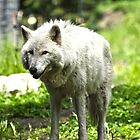 White wolf @ Grouse mountain by alvinR32