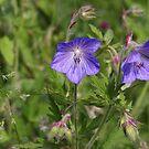 Soft blue Crane´s bill by steppeland