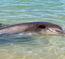 Monkey Mia Bottlenose Dolphin by Gerrart