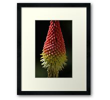 Red Hot Poker Framed Print