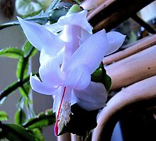 First Christmas Cactus Bloom For 2011 by trueblvr
