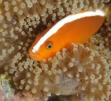 Orange anemonefish - Amphiprion sandaracinos by Andrew Trevor-Jones
