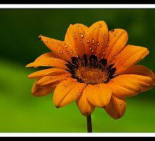African daisy by AussieBryan