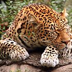 Leopard Sleeping by Laurel Talabere