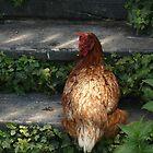 Chicken by Sorcha Whitehorse ©