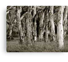 Paperbarks, Smith Lake, NSW Canvas Print