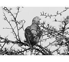 Blinking Pigeon Photographic Print