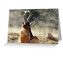 Red Hartebeest - Alcelaphus caama Greeting Card