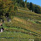 Glottertal vineyard by Jörg Holtermann