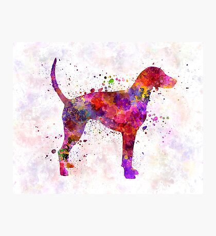 American Foxhound in watercolor                   Photographic Print