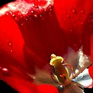 Red Tulip by Samantha Higgs