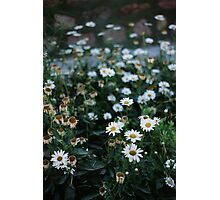 Daisies patch Photographic Print