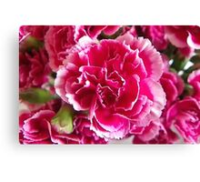 White tipped Pink Carnation Canvas Print