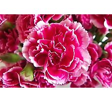 White tipped Pink Carnation Photographic Print