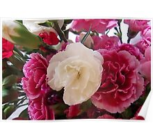 White & Pink Carnation Poster