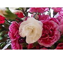 White & Pink Carnation Photographic Print