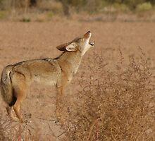 Coyote Serenade  by Kimberly Chadwick