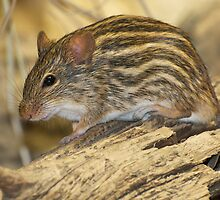 Striped grass mouse by mc27