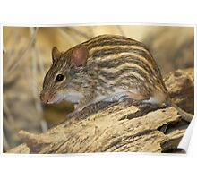 Striped grass mouse Poster