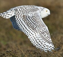 Snowy Owl In Flight by David Friederich