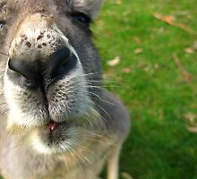 Nosy Roo by Shaynelee