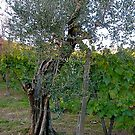Olive Tree and Grape Vine, Tuscany by Barbara Wyeth