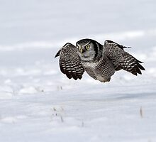 High Speed And Low Altitude / Northern Hawk Owl by Gary Fairhead
