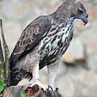 Sri Lankan Changeable Hawk-Eagle - Singapore. by Ralph de Zilva
