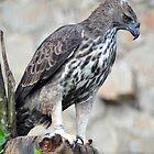 Sri Lankan Changeable Hawk-Eagle - Singapore. by Ralph de Zilva
