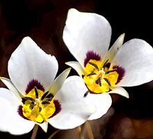 Sego Lily by Arla M. Ruggles