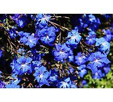 Blue Lechenaultia Photographic Print