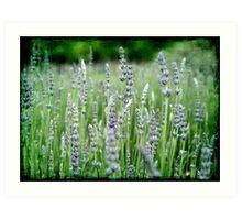 ~ Lovely Lavender ~ Art Print