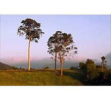 Gum Trees Photographic Print