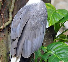 White-Bellied Sea Eagle - Singapore. by Ralph de Zilva