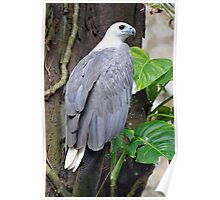 White-Bellied Sea Eagle - Singapore. Poster
