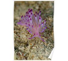Nudibranch - Flabellina rubrolineata Poster