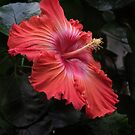 Hibiscus by Samantha Higgs