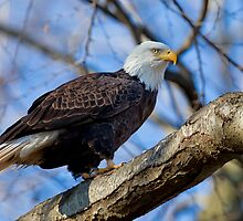 Bald Eagle, Conowingo Dam by Rob Lavoie