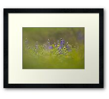 Selective focus on a cluster of Blue lupin (Lupinus pilosus) Framed Print